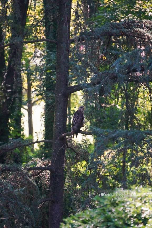 A hawk nesting in our many trees!